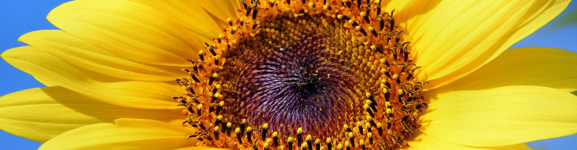 I semi di girasole