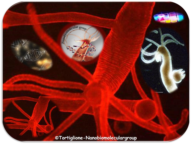 Hydra vulgaris: un meraviglioso organismo modello e non solo!