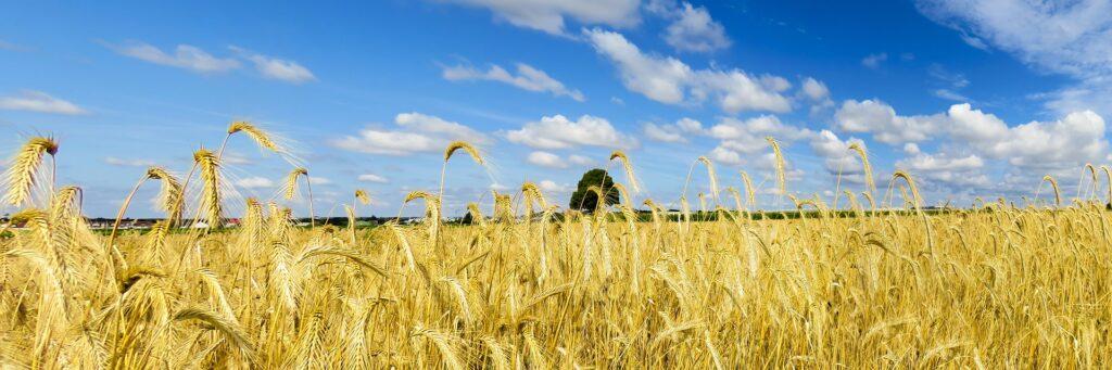grano, Sua maestà il grano! grani antichi VS grani moderni