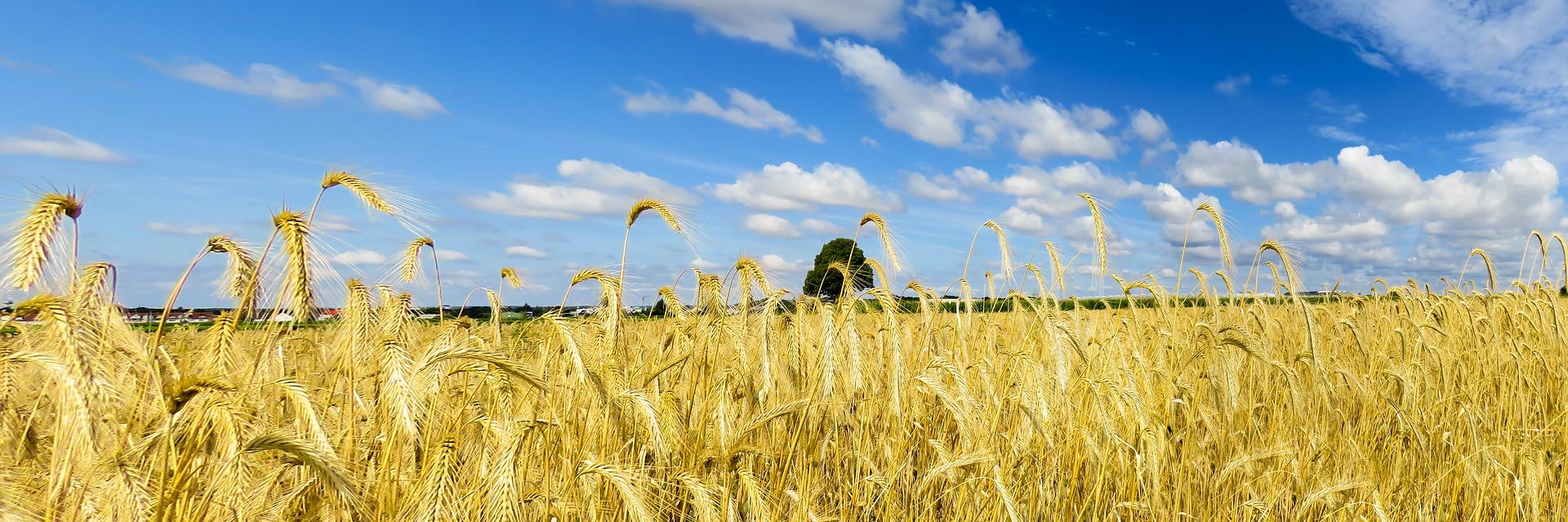 Sua maestà il grano! grani antichi VS grani moderni