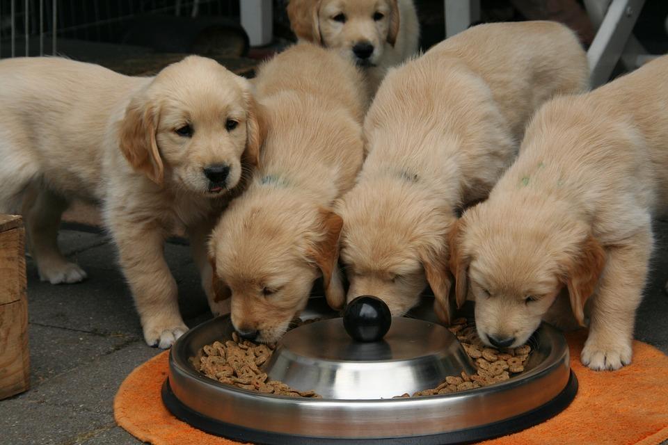 Indagine della FDA sul potenziale legame tra alcune diete e cardiomiopatia dilatativa canina.