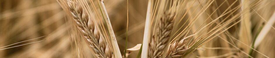 I benefici del cereale più antico del mondo: l'orzo