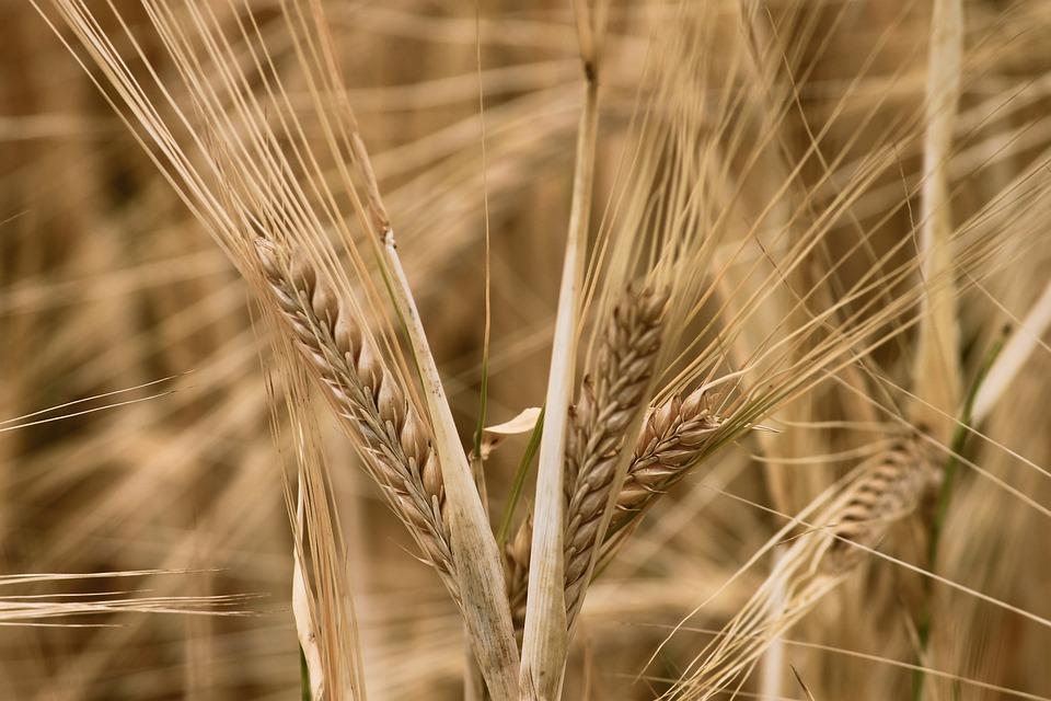 , I benefici del cereale più antico del mondo: l'orzo