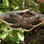 Falene, National Moth Week: alcune tra le falene più stravaganti